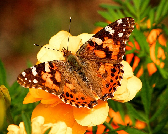 painted-lady-butterfly-55995_640